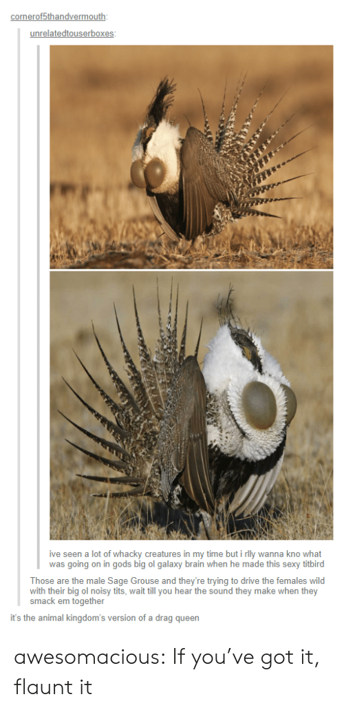Sexy, Tits, and Tumblr: onerof5thandvermo  unrelatedtouserbox  ive seen a lot of whacky creatures in my time but i rlly wanna kno what  was going on in gods big ol galaxy brain when he made this sexy titbird  Those are the male Sage Grouse and they're trying to drive the females wild  with their big ol noisy tits, wait till you hear the sound they make when they  smack em together  it's the animal kingdom's version of a drag queen awesomacious:  If you've got it, flaunt it