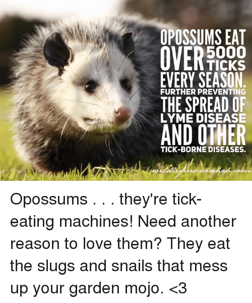 Opossums Eat 5000 Ticks Every Season Further Preventing The Spread