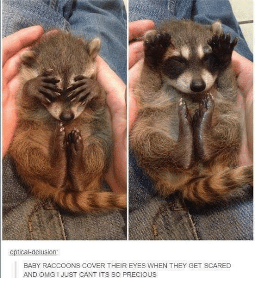 optical delusion baby raccoons cover their eyes when they get 2435206 ✅ 25 best memes about baby raccoon baby raccoon memes
