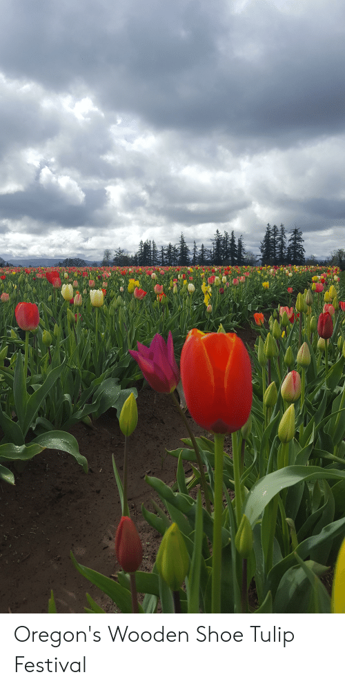 Wooden Shoe Tulip Festival 2020.Oregon S Wooden Shoe Tulip Festival Festival Meme On Me Me