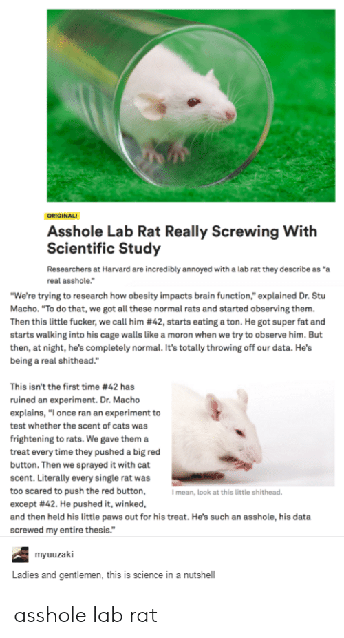 """Cats, Brain, and Harvard: ORIGINAL  Asshole Lab Rat Really Screwing With  Scientific Study  Researchers at Harvard are incredibly annoyed with a lab rat they describe as """"a  real asshole.""""  """"We're trying to research how obesity impacts brain function,"""" explained Dr. Stu  Macho. """"To do that, we got all these normal rats and started observing them.  Then this little fucker, we call him #42, starts eating a ton. He got super fat and  starts walking into his cage walls like a moron when we try to observe him. But  then, at night, he's completely normal. It's totally throwing off our data. He's  being a real shithead.""""  This isn't the first time #42 has  ruined an experiment. Dr. Macho  explains, """"I once ran an experiment to  test whether the scent of cats was  frightening to rats. We gave them a  treat every time they pushed a big red  button. Then we sprayed it with cat  scent. Literally every single rat was  too scared to push the red button,  except #42. He pushed it, winked,  and then held his little paws out for his treat. He's such an asshole, his data  screwed my entire thesis.""""  I mean, look at this little shithead  myuuzaki  Ladies and gentlemen, this is science in a nutshell asshole lab rat"""
