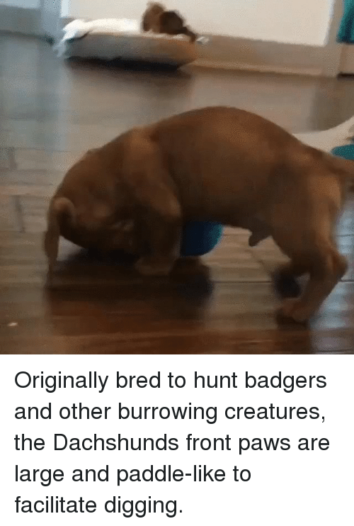 originally bred to hunt badgers and other burrowing creatures the