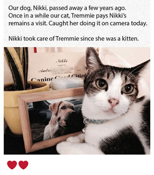 Funny, Camera, and Today: Our dog, Nikki, passed away a few years ago.  Once in a while our cat, Tremmie pays Nikki's  remains a visit. Caught her doing it on camera today.  Nikki took care of Tremmie since she was a kitten  Canineitiz ❤️❤️