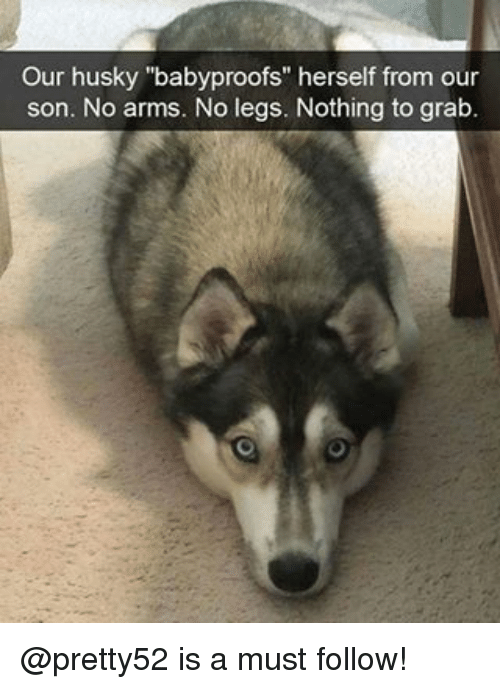 "Memes, Husky, and Leggings: Our husky ""babyproofs"" herself from our  son. No arms. No legs. Nothing to grab. @pretty52 is a must follow!"
