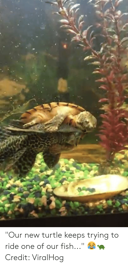 "Fish, Turtle, and One: ""Our new turtle keeps trying to ride one of our fish..."" 😂🐢  Credit: ViralHog"