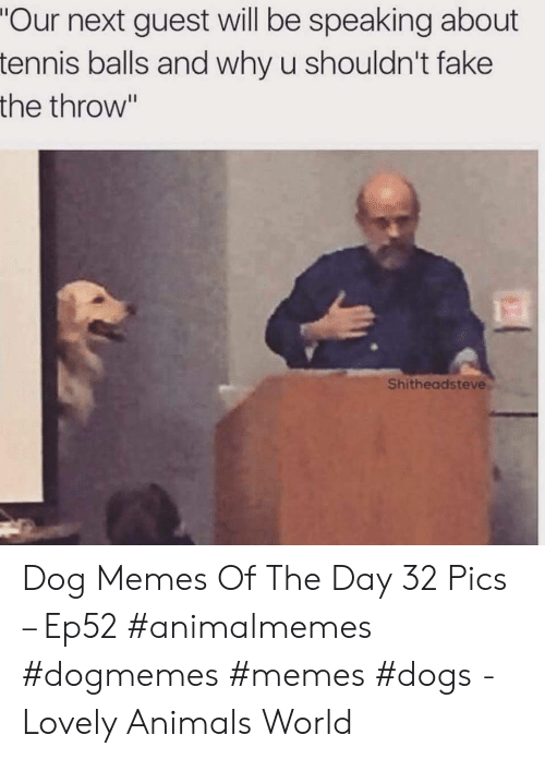 "Animals, Dogs, and Fake: ""Our next guest will be speaking about  tennis balls and why u shouldn't fake  the throw""  Shitheadsteve Dog Memes Of The Day 32 Pics – Ep52 #animalmemes #dogmemes #memes #dogs - Lovely Animals World"