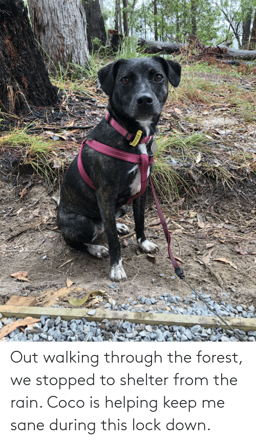 CoCo, Rain, and The Forest: Out walking through the forest, we stopped to shelter from the rain. Coco is helping keep me sane during this lock down.