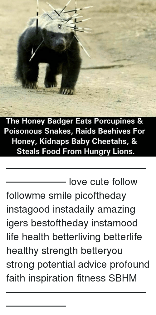 Advice, Cute, and Food: Owen Slater Photo  phy  The Honey Badger Eats Porcupines &  Poisonous Snakes, Raids Beehives  Honey, Kidnaps Baby Cheetahs, &  Steals Food From Hungry Lions. ———————————————————— love cute follow followme smile picoftheday instagood instadaily amazing igers bestoftheday instamood life health betterliving betterlife healthy strength betteryou strong potential advice profound faith inspiration fitness SBHM ————————————————————