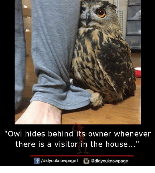 "Memes, House, and 🤖: Owl hides behind its owner whenever  there is a visitor in the house...""  ㄥ  /didyouknowpagel"