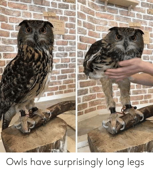Owls,  Legs, and Long Legs: Owls have surprisingly long legs