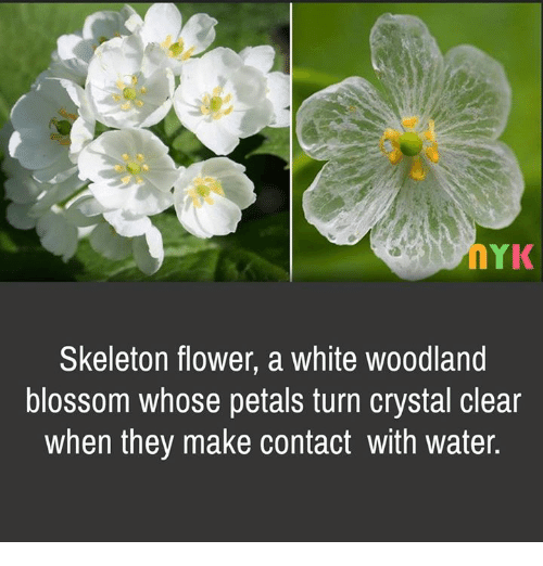 Oyk skeleton flower a white woodland blossom whose petals turn memes flower and water oyk skeleton flower a white woodland blossom whose mightylinksfo