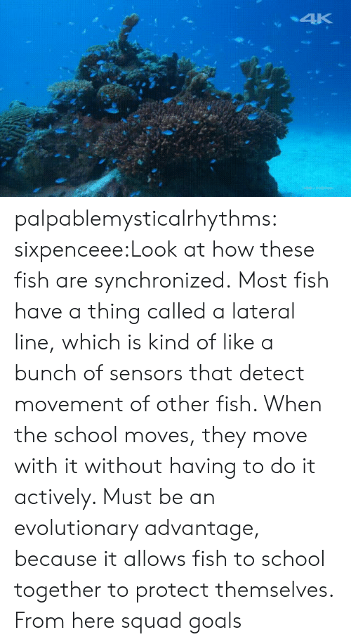 Goals, Reddit, and School: palpablemysticalrhythms:  sixpenceee:Look at how these fish are synchronized. Most fish have a thing called a lateral line, which is kind of like a bunch of sensors that detect movement of other fish. When the school moves, they move with it without having to do it actively. Must be an evolutionary advantage, because it allows fish to school together to protect themselves. From here squad goals