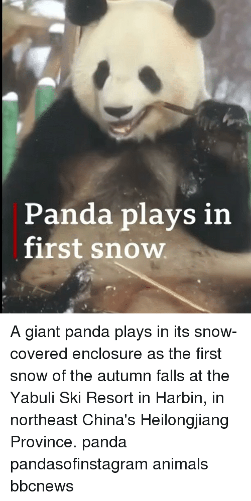 Animals, Memes, and Panda: Panda plays in  first snow A giant panda plays in its snow-covered enclosure as the first snow of the autumn falls at the Yabuli Ski Resort in Harbin, in northeast China's Heilongjiang Province. panda pandasofinstagram animals bbcnews