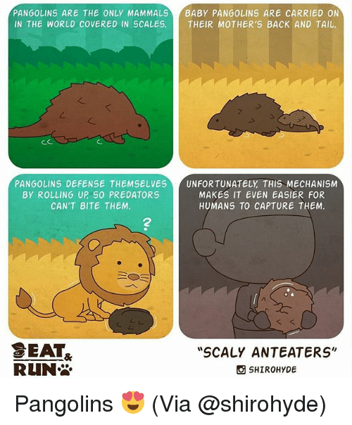"""Memes, World, and Mothers: PANGOLINS ARE THE ONLY MAMMALS  BABY PANGOLINS ARE CARRIED ON  IN THE WORLD COVERED IN SCALES.  THEIR MOTHER'S BACK AND TAIL.  PANGOLINS DEFENSE THEMSELVES UNFORTUNATELY THIS MECHANISM  BY ROLLING UP SO PREDATORS  MAKES IT EVEN EASIER FOR  CAN'T BITE THEM.  HUMANS TO CAPTURE THEM.  BEAT  """"SCALY ANTEATERS""""  RLIN  SHIROHYDE Pangolins 😍 (Via @shirohyde)"""
