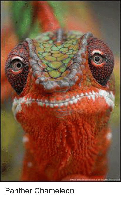 25 Best Memes About Panther Chameleon Panther Chameleon