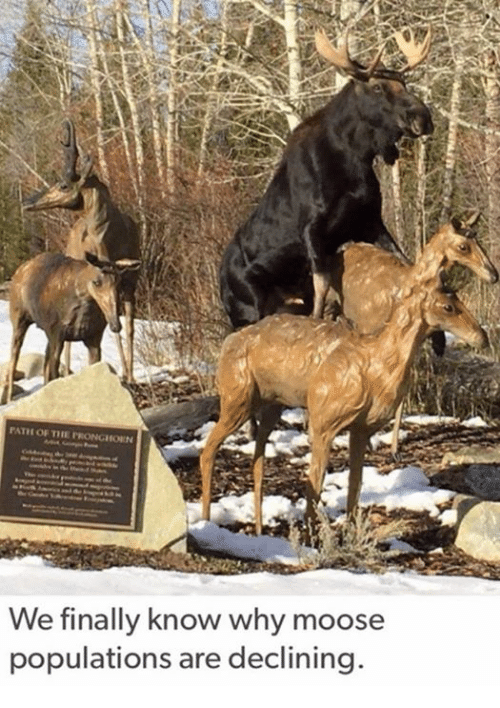 Memes, 🤖, and Moose: PATH OF TIE PRONGHODIN  We finally know why moose  populations are declining.