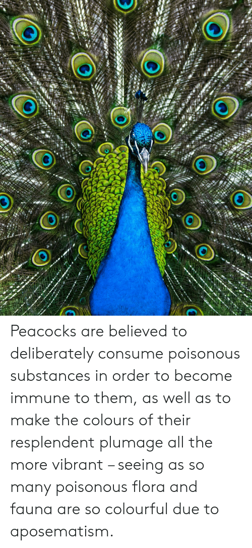 All The, Them, and All: Peacocks are believed to deliberately consume poisonous substances in order to become immune to them, as well as to make the colours of their resplendent plumage all the more vibrant – seeing as so many poisonous flora and fauna are so colourful due to aposematism.