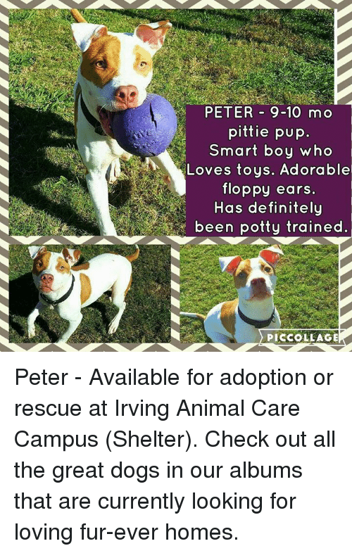 Peter 9 10 Mo Pittie Pup Smart Boy Who Loves Toys Adorable Floppy