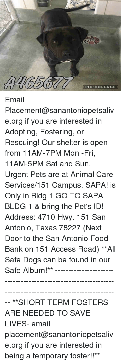 Dogs, Food, and Memes: PIC COLLAGE Email Placement@sanantoniopetsalive.org if you are interested in Adopting, Fostering, or Rescuing!  Our shelter is open from 11AM-7PM Mon -Fri, 11AM-5PM Sat and Sun.  Urgent Pets are at Animal Care Services/151 Campus. SAPA! is Only in Bldg 1 GO TO SAPA BLDG 1 & bring the Pet's ID! Address: 4710 Hwy. 151 San Antonio, Texas 78227 (Next Door to the San Antonio Food Bank on 151 Access Road)  **All Safe Dogs can be found in our Safe Album!** ---------------------------------------------------------------------------------------------------------- **SHORT TERM FOSTERS ARE NEEDED TO SAVE LIVES- email placement@sanantoniopetsalive.org if you are interested in being a temporary foster!!**