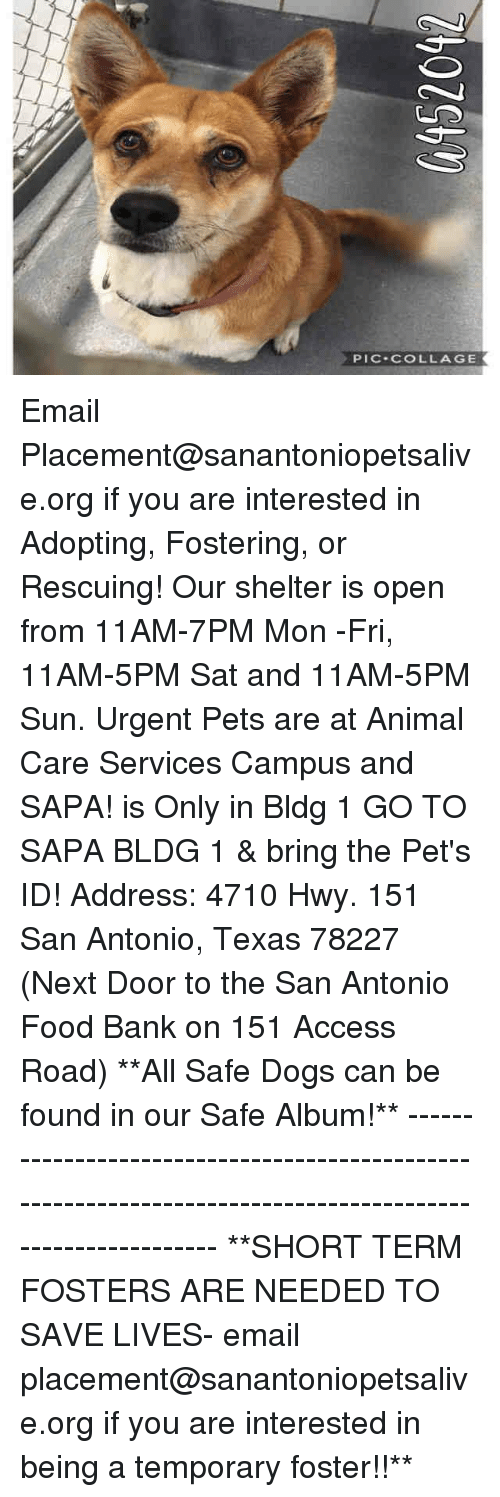 Dogs, Food, and Memes: PIC-COLLAGE Email Placement@sanantoniopetsalive.org if you are interested in Adopting, Fostering, or Rescuing!  Our shelter is open from 11AM-7PM Mon -Fri, 11AM-5PM Sat and 11AM-5PM Sun.  Urgent Pets are at Animal Care Services Campus and SAPA! is Only in Bldg 1 GO TO SAPA BLDG 1 & bring the Pet's ID! Address: 4710 Hwy. 151 San Antonio, Texas 78227 (Next Door to the San Antonio Food Bank on 151 Access Road)  **All Safe Dogs can be found in our Safe Album!** ---------------------------------------------------------------------------------------------------------- **SHORT TERM FOSTERS ARE NEEDED TO SAVE LIVES- email placement@sanantoniopetsalive.org if you are interested in being a temporary foster!!**