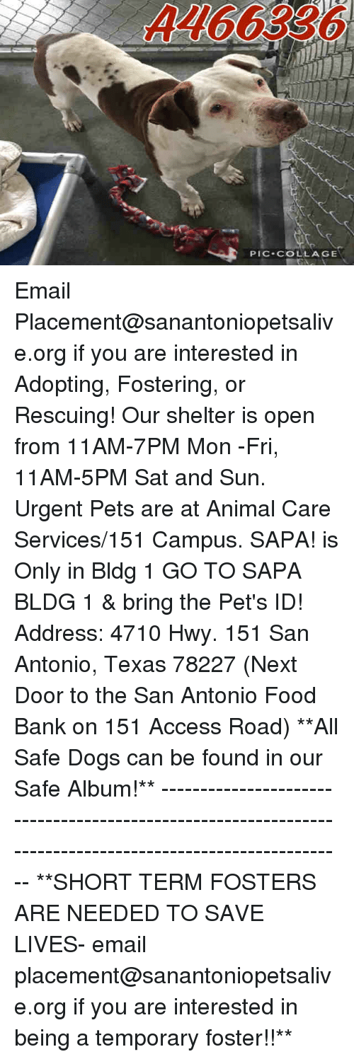 Dogs, Food, and Memes: PIC-COLLAGE Email Placement@sanantoniopetsalive.org if you are interested in Adopting, Fostering, or Rescuing!  Our shelter is open from 11AM-7PM Mon -Fri, 11AM-5PM Sat and Sun.  Urgent Pets are at Animal Care Services/151 Campus. SAPA! is Only in Bldg 1 GO TO SAPA BLDG 1 & bring the Pet's ID! Address: 4710 Hwy. 151 San Antonio, Texas 78227 (Next Door to the San Antonio Food Bank on 151 Access Road)  **All Safe Dogs can be found in our Safe Album!** ---------------------------------------------------------------------------------------------------------- **SHORT TERM FOSTERS ARE NEEDED TO SAVE LIVES- email placement@sanantoniopetsalive.org if you are interested in being a temporary foster!!**