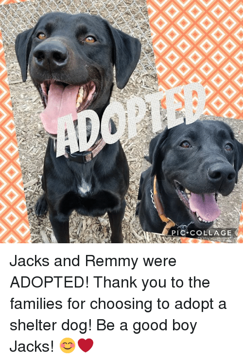 Memes, Thank You, and Collage: PIC COLLAGE Jacks and Remmy were ADOPTED! Thank you to the families for choosing to adopt a shelter dog! Be a good boy Jacks! 😊❤