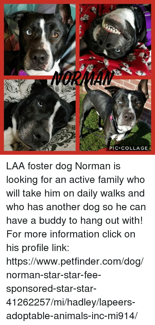 Animals, Click, and Family: PIC COLLAGE LAA foster dog Norman is looking for an active family who will take him on daily walks and who has another dog so he can have a buddy to hang out with!  For more information click on his profile link: https://www.petfinder.com/dog/norman-star-star-fee-sponsored-star-star-41262257/mi/hadley/lapeers-adoptable-animals-inc-mi914/