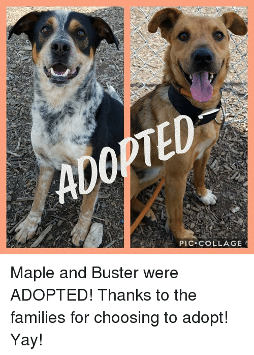 Memes, Collage, and 🤖: PIC COLLAGE Maple and Buster were ADOPTED! Thanks to the families for choosing to adopt! Yay!