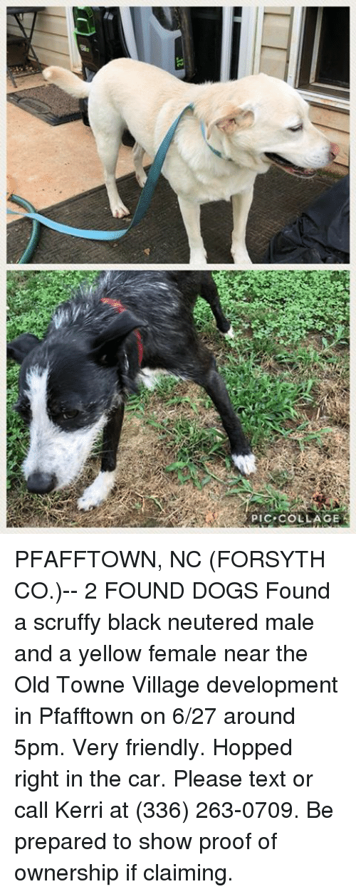 Dogs, Memes, and Black: PIC-COLLAGE PFAFFTOWN, NC (FORSYTH CO.)-- 2 FOUND DOGS  Found a scruffy black neutered male and a yellow female near the Old Towne Village development in Pfafftown on 6/27 around 5pm. Very friendly. Hopped right in the car. Please text or call Kerri at (336) 263-0709. Be prepared to show proof of ownership if claiming.