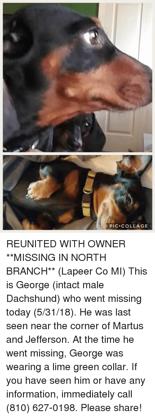 Memes, Collage, and Information: PIC COLLAGE REUNITED WITH OWNER  **MISSING IN NORTH BRANCH** (Lapeer Co MI) This is George (intact male Dachshund) who went missing today (5/31/18). He was last seen near the corner of Martus and Jefferson. At the time he went missing, George was wearing a lime green collar. If you have seen him or have any information, immediately call (810) 627-0198. Please share!
