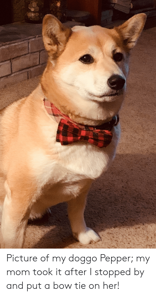 Mom, Doggo, and Her: Picture of my doggo Pepper; my mom took it after I stopped by and put a bow tie on her!
