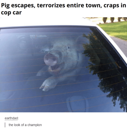 Cars, Funny, and Terrorism: Pig escapes, terrorizes entire town, craps in  cop car earthdad the look of a champion
