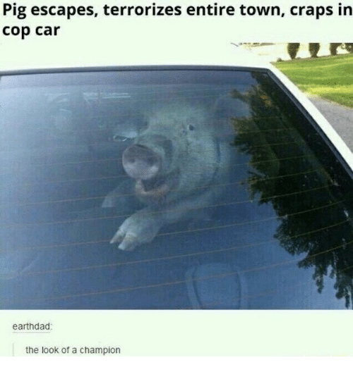 Car, Pig, and Craps: Pig escapes, terrorizes entire town, craps in  cop car  earthdad  the look of a champion
