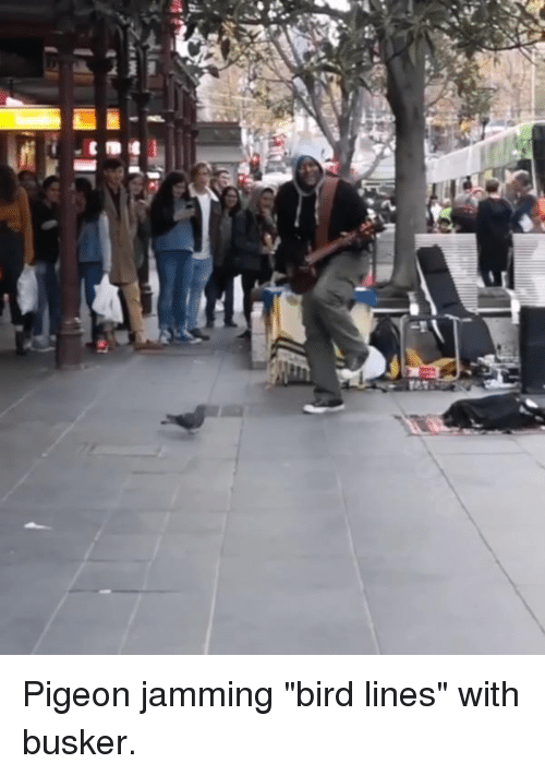 "Dank, 🤖, and Pigeon: Pigeon jamming ""bird lines"" with busker."