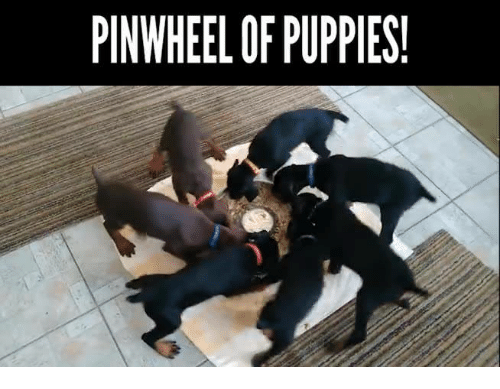 Pinwheel Of Puppies Meme On Meme