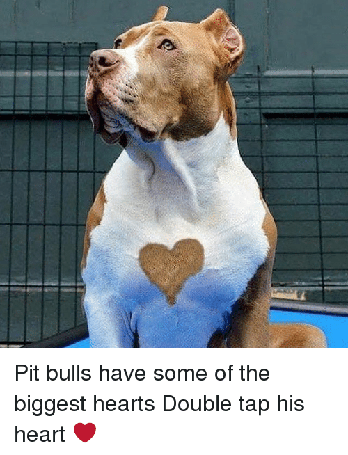 Memes, Bulls, and Heart: Pit bulls have some of the biggest hearts Double tap his heart ❤️
