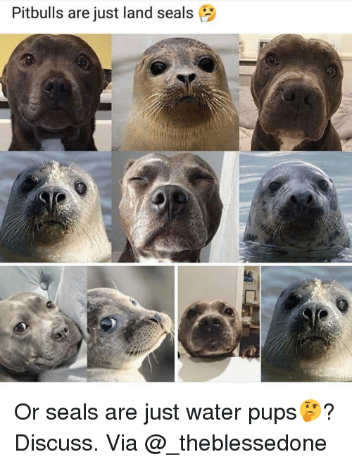 Memes, Water, and 🤖: Pitbulls are just land seals Or seals are just water pups🤔? Discuss. Via @_theblessedone