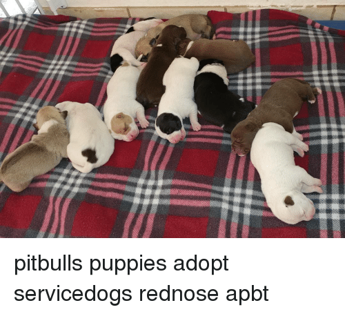 Pitbulls Puppies Adopt Servicedogs Rednose Apbt Meme On Meme