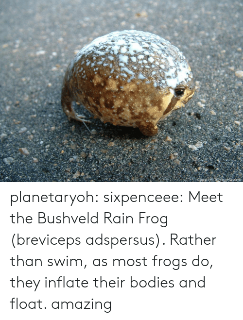 Bodies , Tumblr, and Blog: planetaryoh: sixpenceee:   Meet the Bushveld Rain Frog (breviceps adspersus). Rather than swim, as most frogs do, they inflate their bodies and float.     amazing