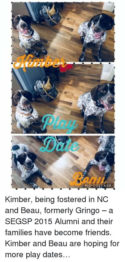 Friends, Memes, and Collage: Play  Date  Benu  PIC COLLAGE Kimber, being fostered in NC and Beau, formerly Gringo – a SEGSP 2015 Alumni and their families have become friends. Kimber and Beau are hoping for more play dates…