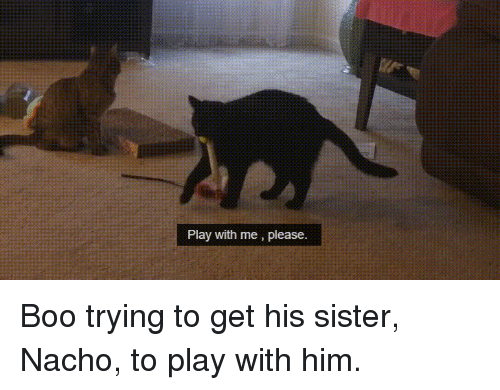 Boo, Him, and Play: Play with me, please. Boo trying to get his sister, Nacho, to play with him.