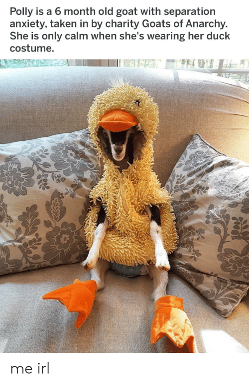 Taken, Goat, and Anxiety: Polly is a 6 month old goat with separation  anxiety, taken in by charity Goats of Anarchy  She is only calm when she's wearing her duck  costume me irl