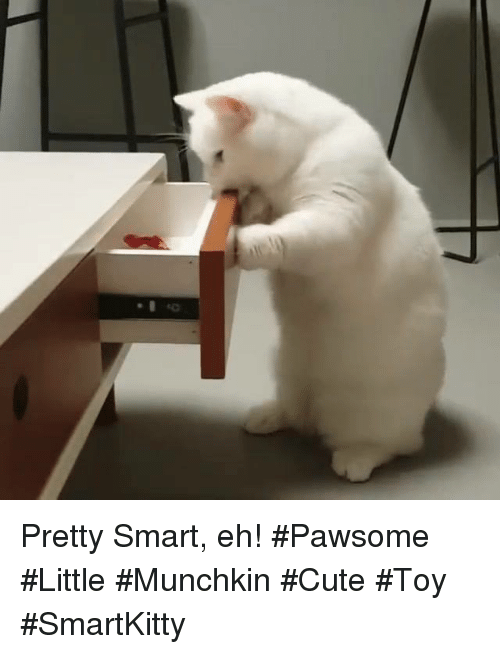 Pretty Smart Eh! #Pawsome #Little #Munchkin #Cute #Toy #SmartKitty ...