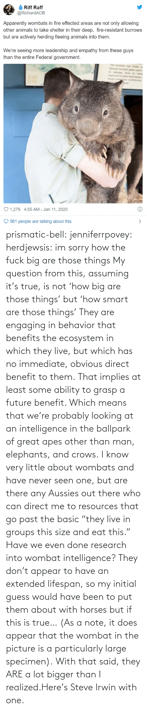 """Future, Horses, and Sorry: prismatic-bell:  jenniferrpovey: herdjewsis: im sorry how the fuck big are those things My question from this, assuming it's true, is not'how big are those things' but'how smart are those things' They are engaging in behavior that benefits the ecosystem in which they live, but which has no immediate, obvious direct benefit to them. That implies at least some ability to grasp a future benefit. Which means that we're probably looking at an intelligence in the ballpark of great apes other than man, elephants, and crows. I know very little about wombats and have never seen one, but are there any Aussies out there who can direct me to resources that go past the basic""""they live in groups this size and eat this."""" Have we even doneresearch into wombat intelligence? They don't appear to have an extended lifespan, so my initial guess would have been to put them about with horses but if this is true… (As a note, it does appear that the wombat in the picture is a particularly large specimen).  With that said, they ARE a lot bigger than I realized.Here's Steve Irwin with one."""