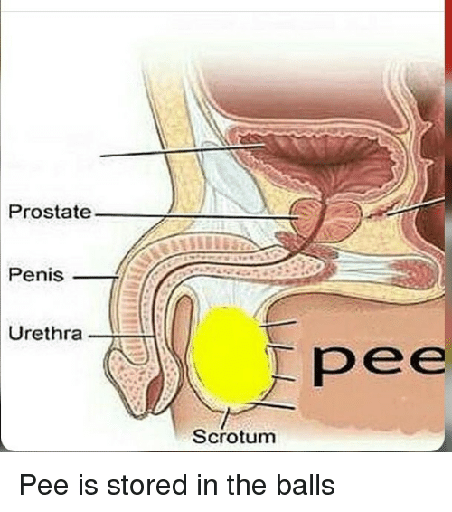 Pee Is Stored In The Balls