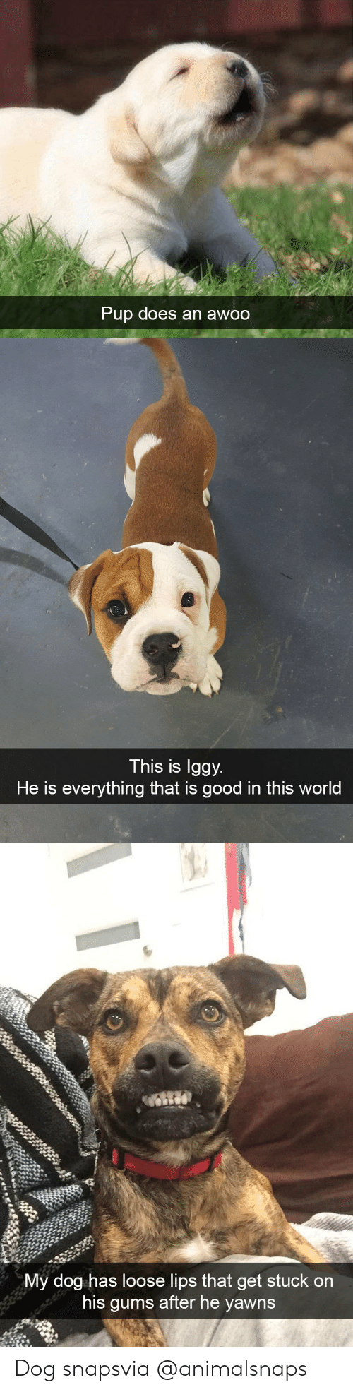 Target, Tumblr, and Good: Pup does an a  woo   This is lggy.  He is everything that is good in this world   My dog has loose lips that get stuck on  his qums after he vawns Dog snapsvia @animalsnaps​