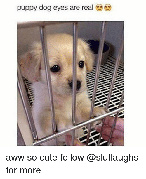 Puppy Dog Eyes Are Real Aww So Cute Follow For More Meme On Me Me