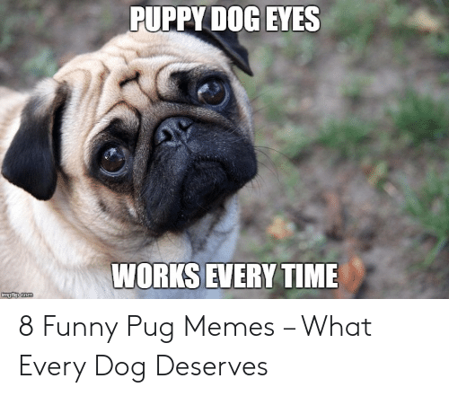 50 Funny Pug Memes Best Funny Pug Pictures Lucky Pug
