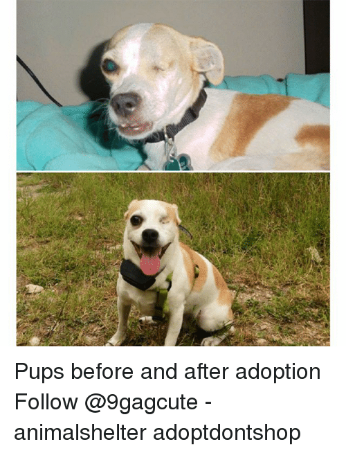 Memes, 🤖, and  Follow: Pups before and after adoption Follow @9gagcute - animalshelter adoptdontshop