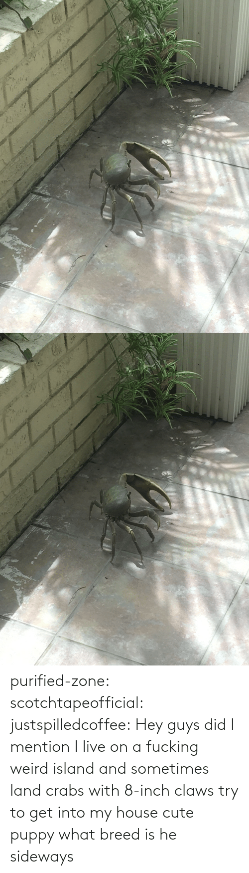 Cute, My House, and Target: purified-zone: scotchtapeofficial:  justspilledcoffee:  Hey guys did I mention I live on a fucking weird island and sometimes land crabs with 8-inch claws try to get into my house  cute puppy what breed is he  sideways